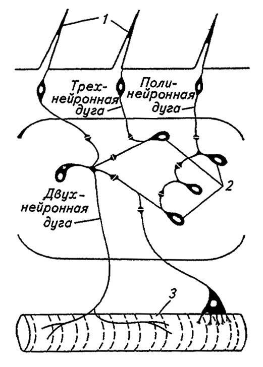 Нейропиль