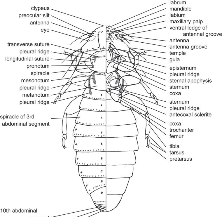 Abdomen of Hexapods