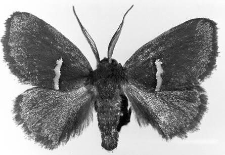 Figure 27 Example of African slug caterpillar moths (Chrysopolomidae), Chrysopoloma similis Aurivillius from South Africa