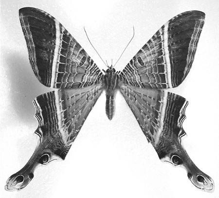 Figure 44 Example of American swallowtail moths Sematuridae), Sematura lunus (Linnaeus), from Costa Rica.