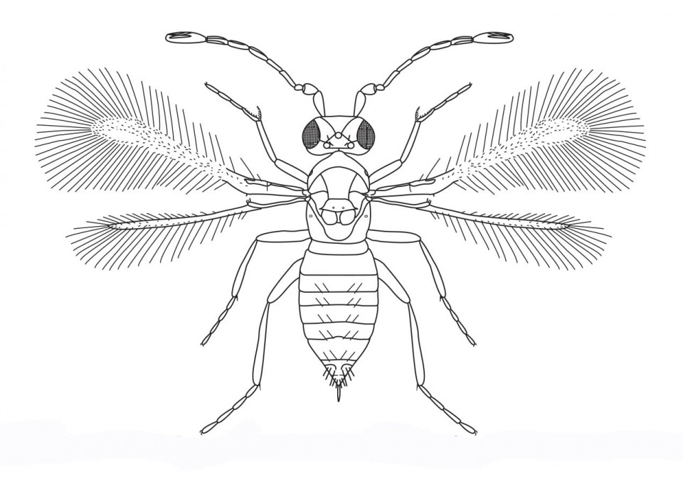 Figure 46 Adult female of Anagrus sp.