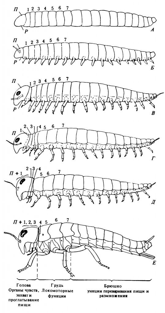Рисунок 2.1. Схематическое изображение гипотетических стадий (А-Е) в развитии различных отделов тела и его придатков — от червеподобного предка до насекомого
