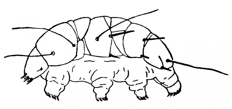 Рисунок 2.3. Тихоходка