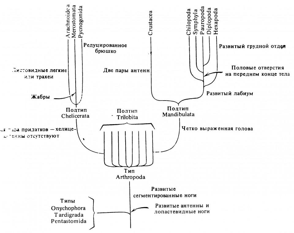 Рисунок 2.5. Гипотетическое родословное древо членистоногих