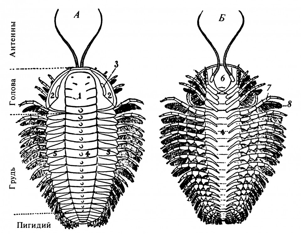 Рисунок 2.6. Общий вид трилобита Triarthrus becki