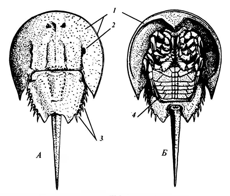 Рисунок 2.7. Мечехвост Limulus.