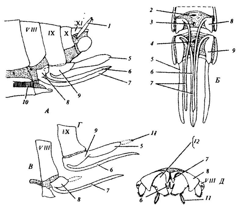 Строение яйцеклада крылатых насекомых