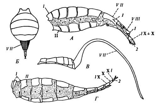 Примеры «яйцекладов», образованных апикальными сегментами брюшка.