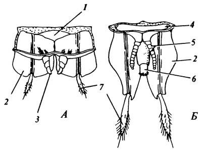 Гениталии самца щетинохвостки Machilis variabilis, вид сдорсальной стороны