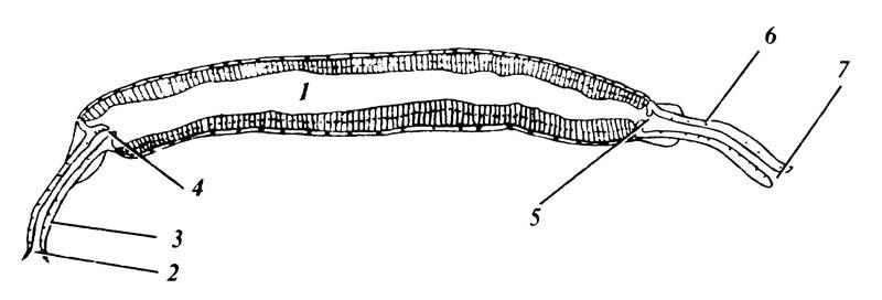 4.1 Пищеварительный тракт коллемболы Tomocerus niger, укоторой первичные отделы кишечного канала неимеют вторичных специализированных образований