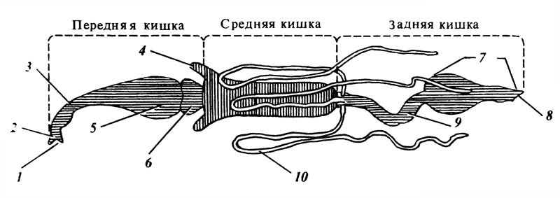 Схематическое изображение отделов и выростов пищеварительного канала