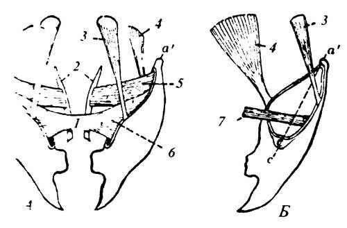 4.15. Схема мускулатуры нижней челюсти насекомых