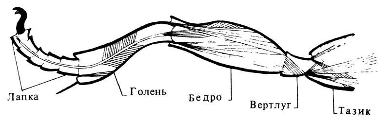 4.16. Схема строения ноги насекомого и её мускулатура