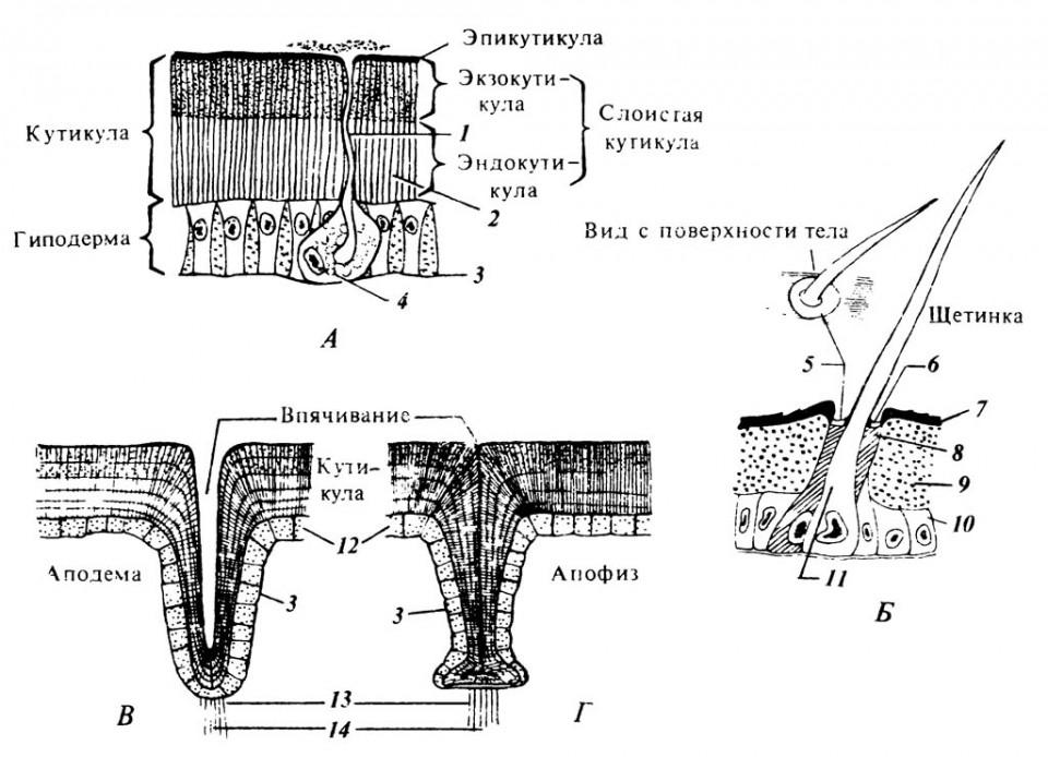 5.1. А. Схема строения покровов тела.