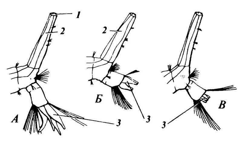 5.14. Вариации размеров анальных жабр назаднем конце личинки Culex pipiens при выращивании ихвводе сразной солёностью