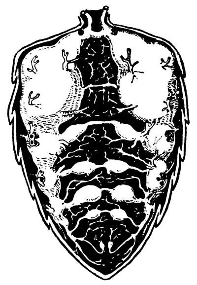 5.17 Трахейная система своздушными мешками вбрюшке рабочей пчелы