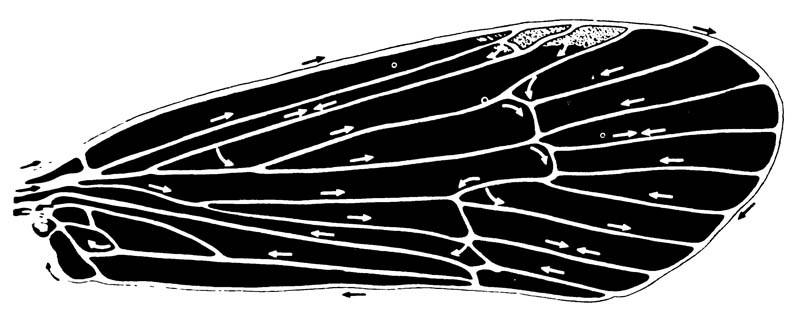 5.23. Циркуляция крови впереднем крыле веснянки Limnephilus rhombicus