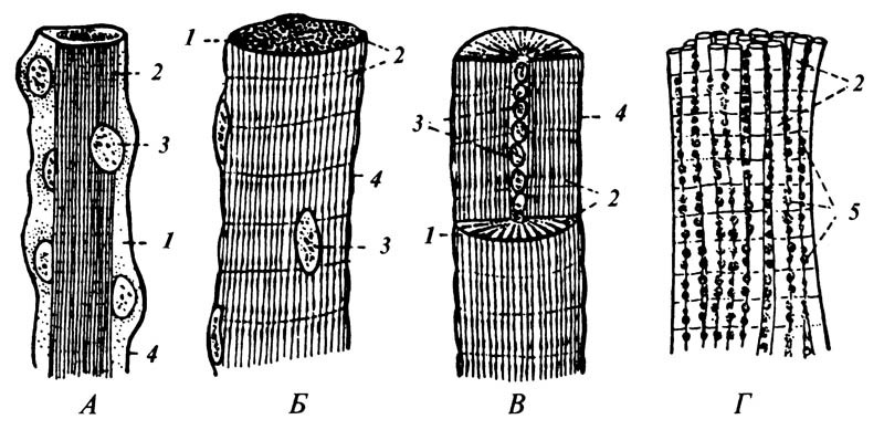 5.24. Мышечные волокна насекомых