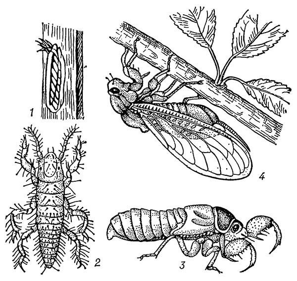 Обыкновенная цикада (Lyristes ptebeja)