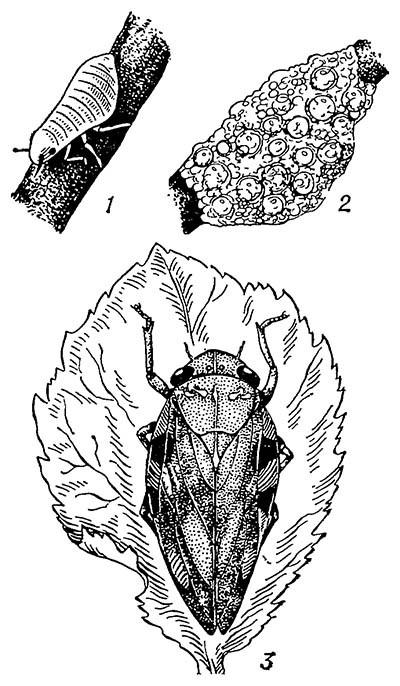 Пенницы: личинка (1) и гнездо (2) слюнявой; 3 — ольховая