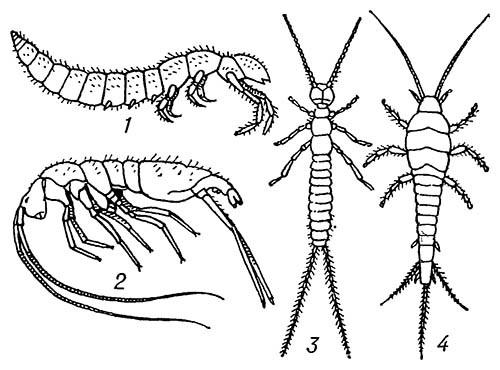 Первичнобескрылые, аптериготы (Apterygota)