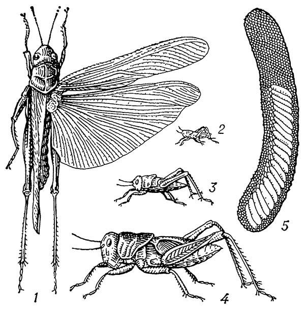 Перелётная саранча, азиатская саранча (Locusta migratorid)