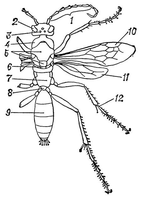 Строение тела дорожной осы (Priocnemis affinis)