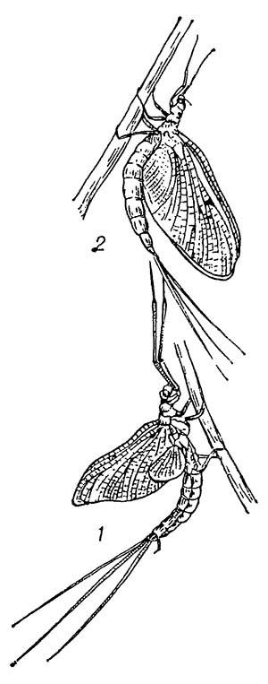 Обыкновенная подёнка (Ephemera vulgata): 1 — субимаго; 2 — имаго