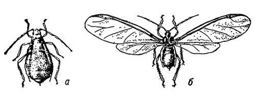 Самки черёмухо-овсяной тли (Rhopalosiphum padi): а — бескрылая; б — крылатая