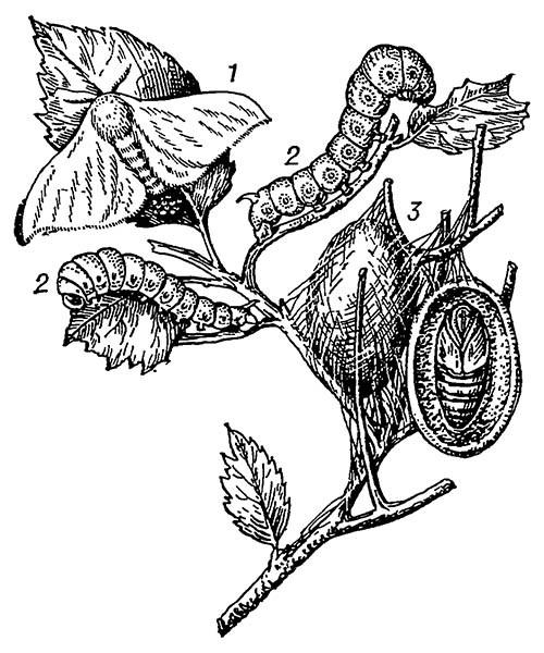Тутовый шелкопряд: 1 — бабочка; 2 — гусеница; 3 — кокон и куколка