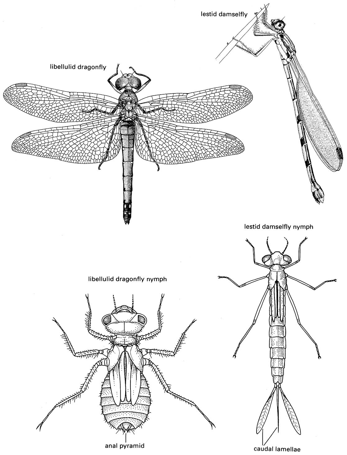Odonata (damselflies and dragonflies)