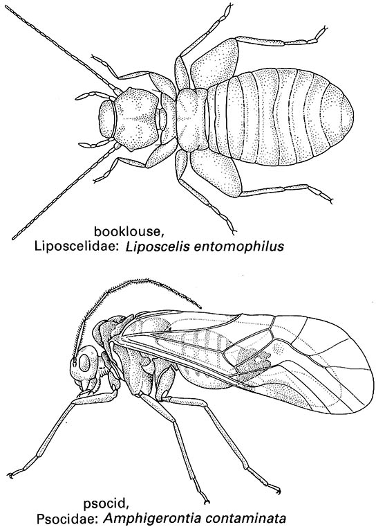 Psocoptera (booklice, barklice, or psocids)