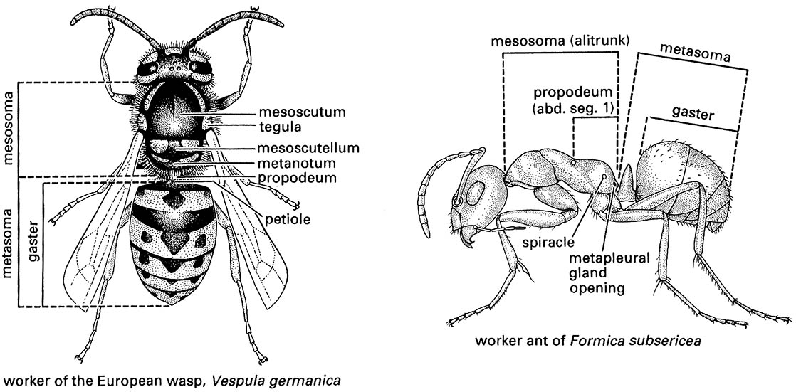Hymenoptera (bees, ants, wasps, sawflies, and wood wasps)