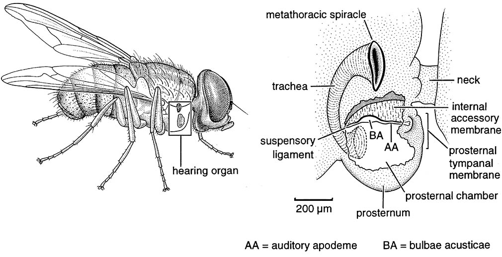 Aural location of host by a parasitoid fly