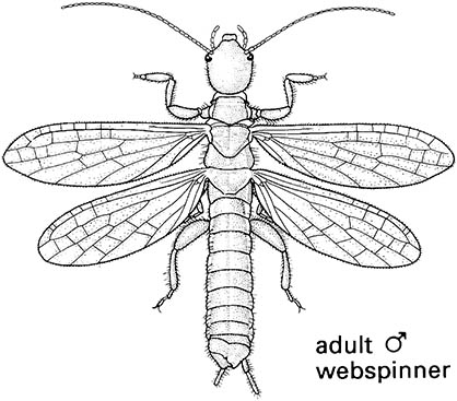 Embiidina or Embioptera (embiids, webspinners)