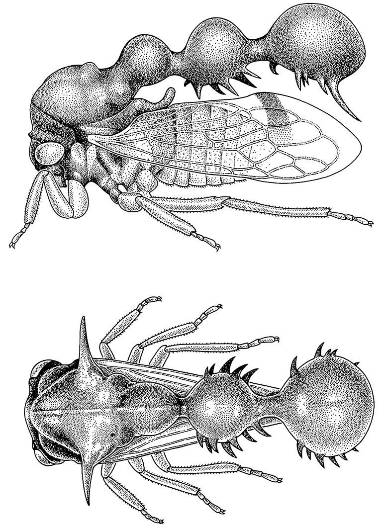 An African ant-mimicking membracid bug. (After Boulard 1968.)