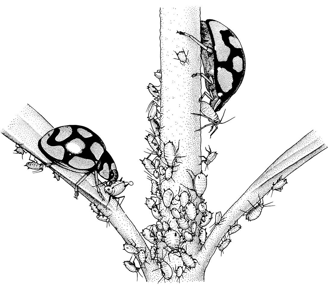 Biological control of aphids by coccinellid beetles. (After Burton & Burton 1975.)