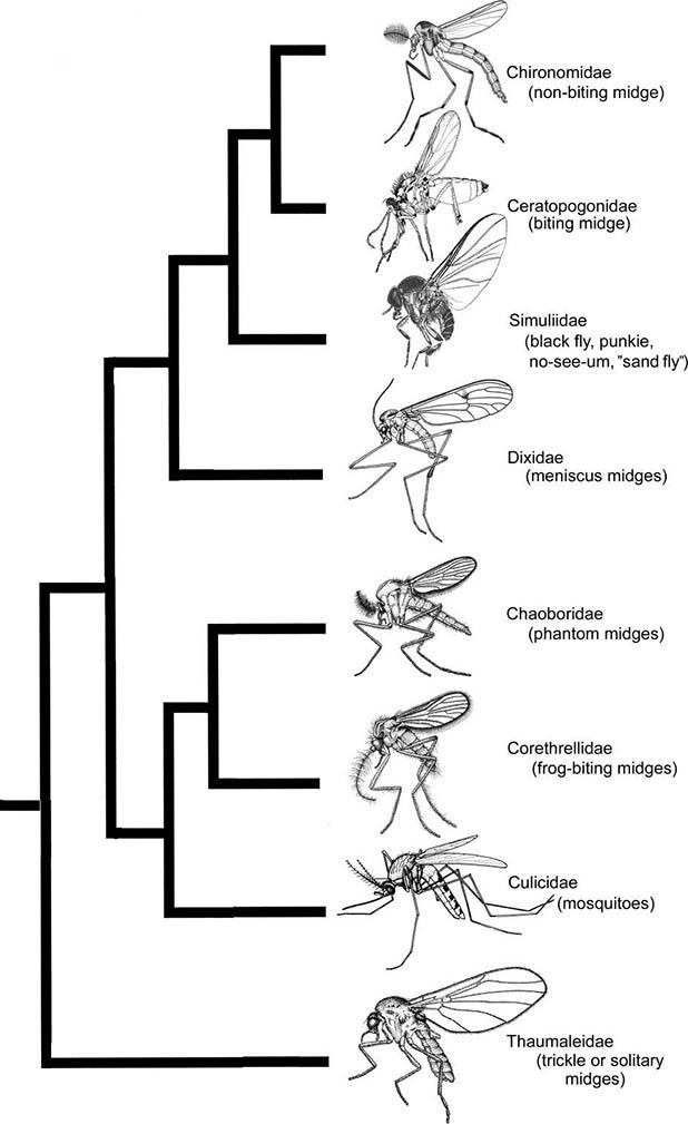 Tree showing proposed relationships between mosquitoes, midges, and their relatives. (After various sources.)