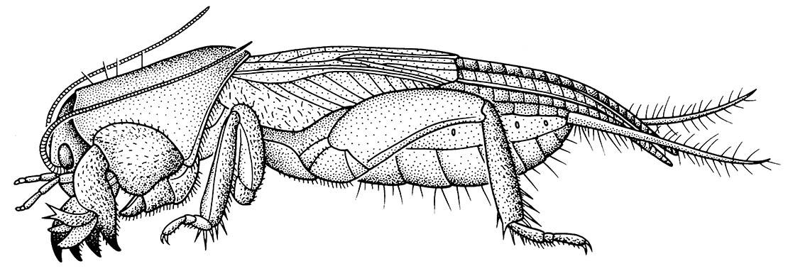 A mole cricket. (After Eisenbeis & Wichard 1987.)