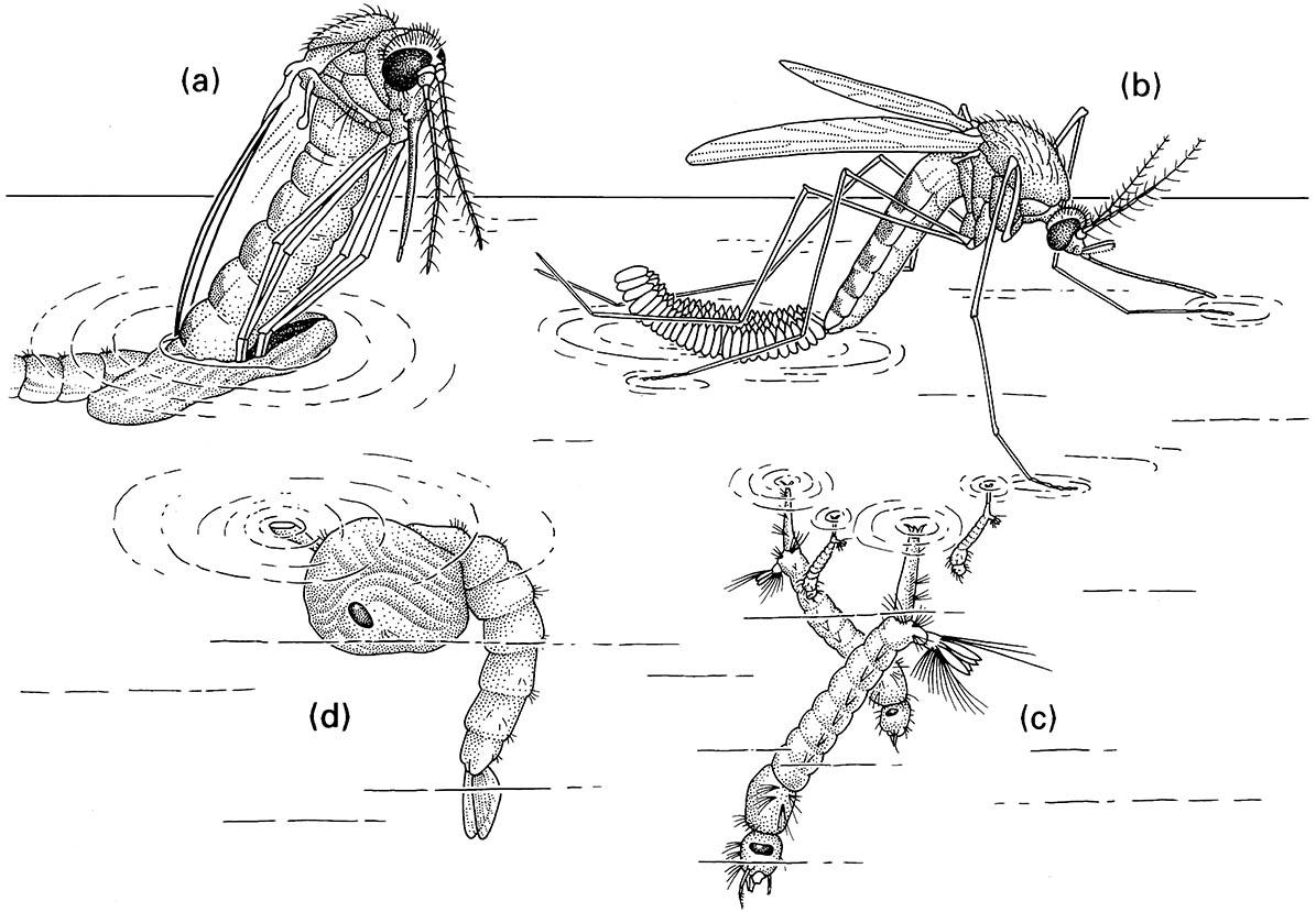 The life cycle of the mosquito Culex pipiens (Diptera: Culicidae):