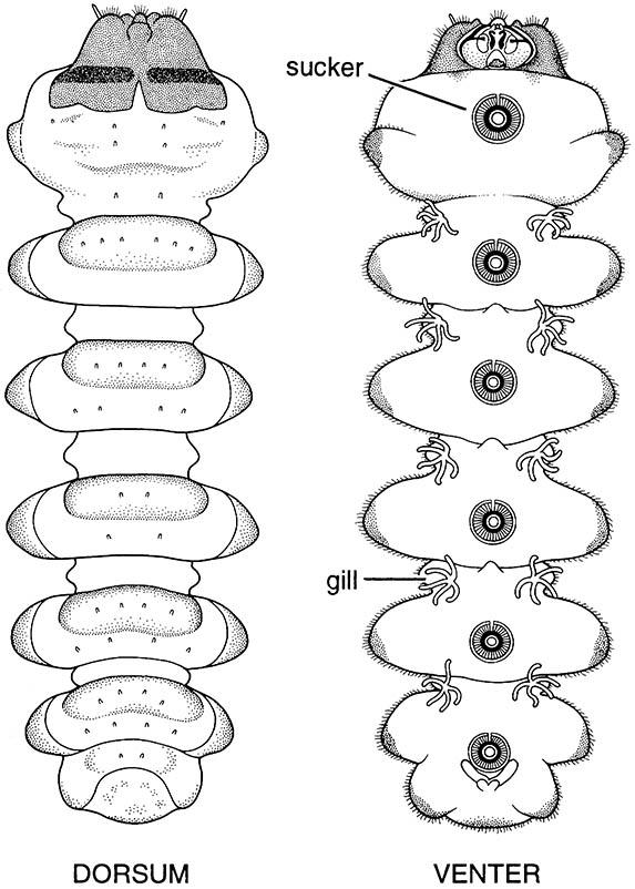 Dorsal (left) and ventral (right) views of the larva of Edwardsina polymorpha (Diptera: Blephariceridae); the venter has suckers which the larva uses to adhere to rock surfaces in fast-flowing water.