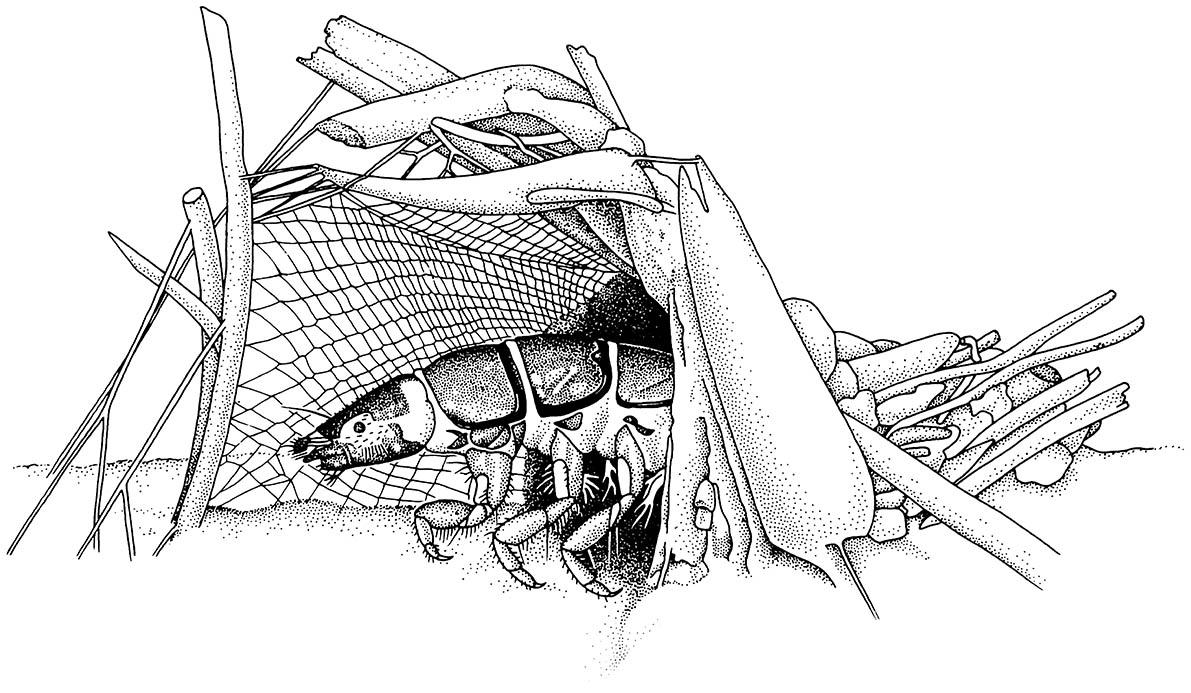 A caddisfly larva (Trichoptera: Hydropsychidae) in its retreat; the silk net is used to catch food.