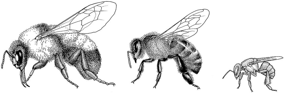 Worker bees from three eusocial genera, from left, Bombus, Apis, and Trigona (Apidae: Apinae), superficially resemble each other in morphology, but they differ in size and ecology, including their pollination preferences and level of eusociality.