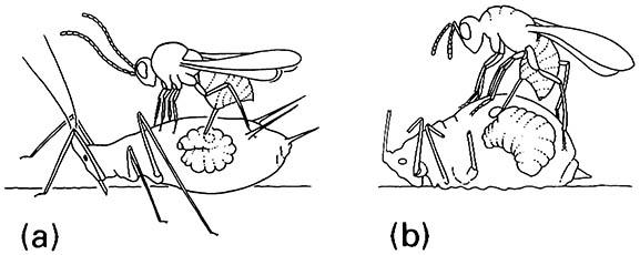 Two examples of the ovipositional behavior of hymenopteran hyperparasitoids of aphids: