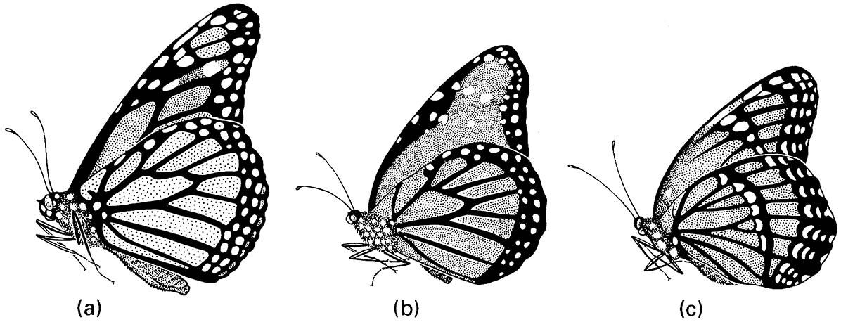 Three nymphalid butterflies that are Müllerian co-mimics in Florida: