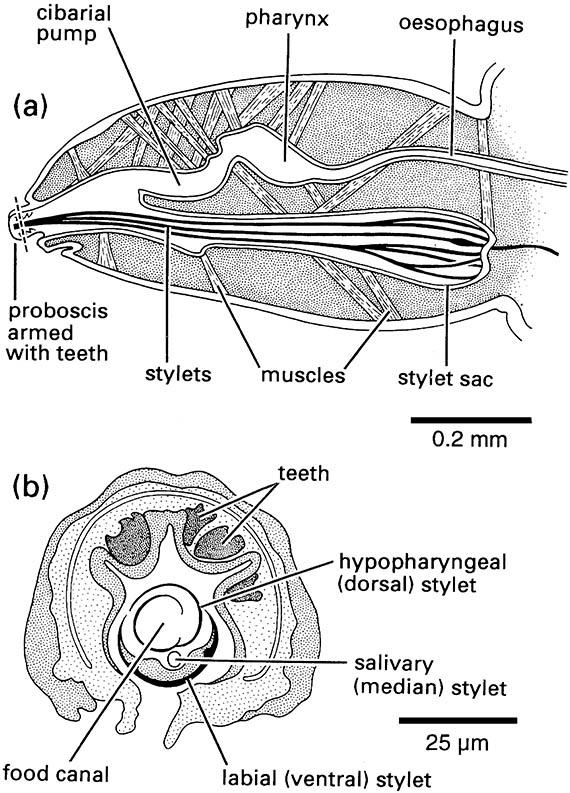 Head and mouthparts of a sucking louse,  Pediculus (Phthiraptera: Anoplura: Pediculidae).
