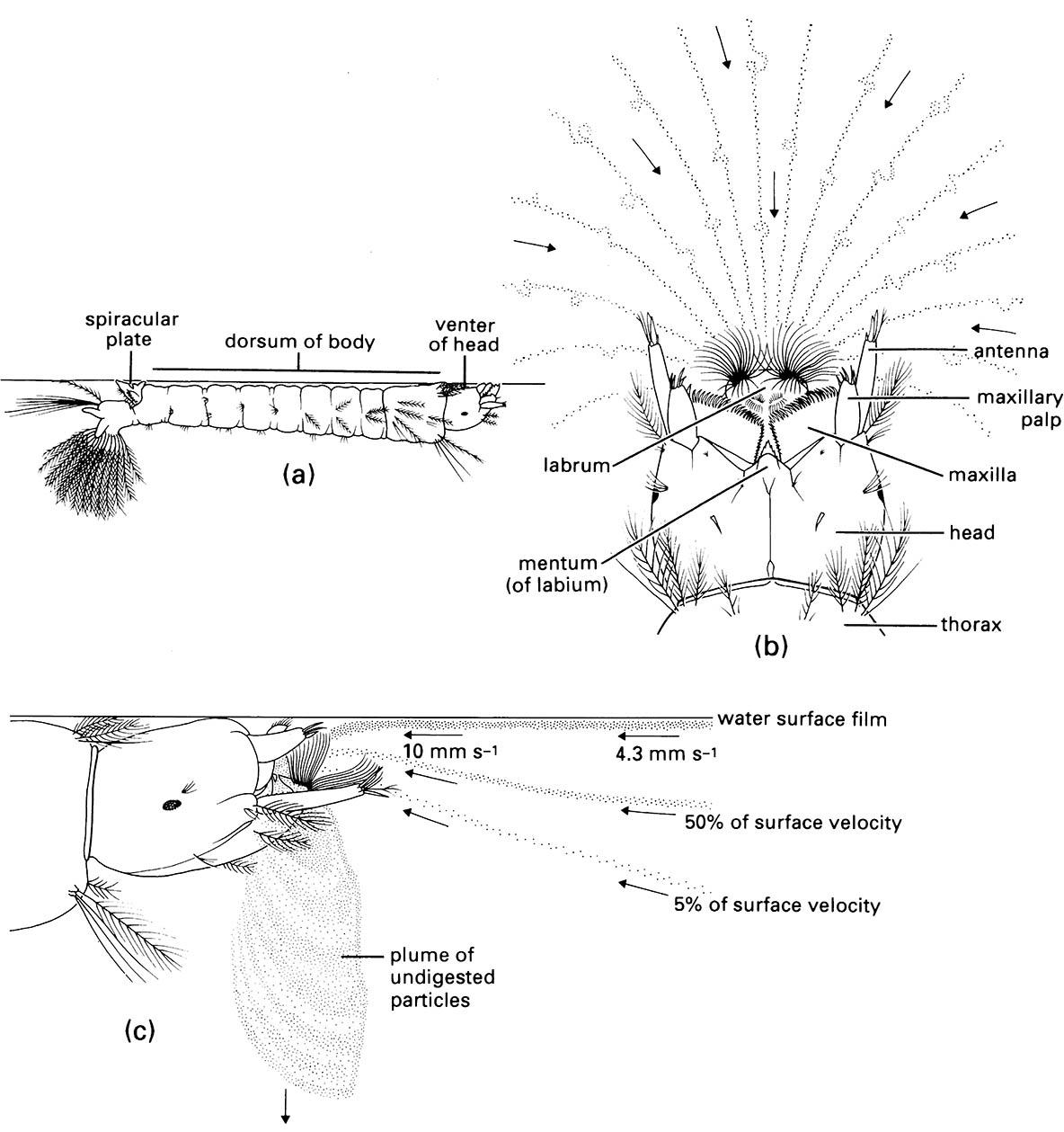 The mouthparts and feeding currents of a mosquito larva of Anopheles quadrimaculatus (Diptera: Culicidae).