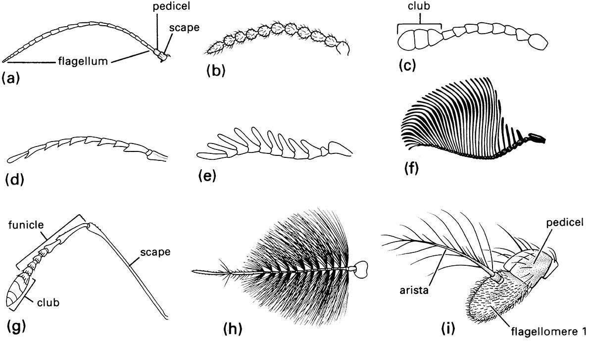Some types of insect antennae:
