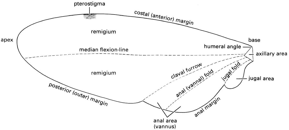 Nomenclature for the main areas, folds, and margins of a generalized insect wing.
