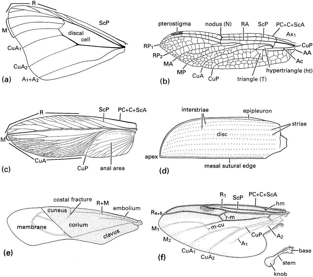 The left wings of a range of insects showing some of the major wing modifications: